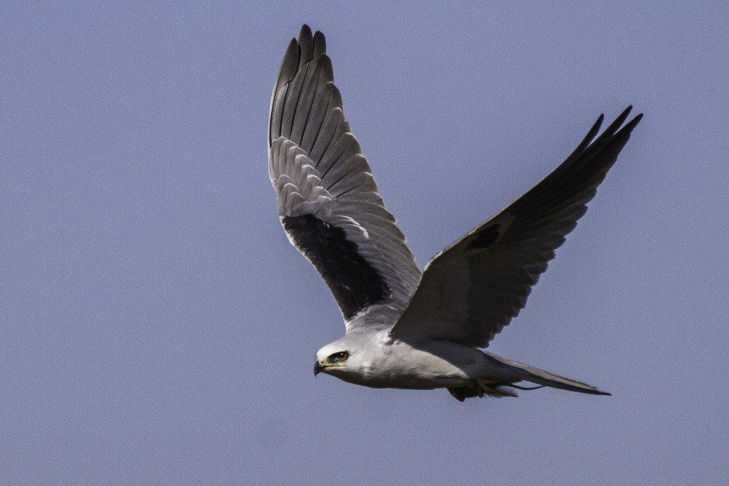 White-tailed Kite at Heron's Head Park / Photo by Bob Gunderson