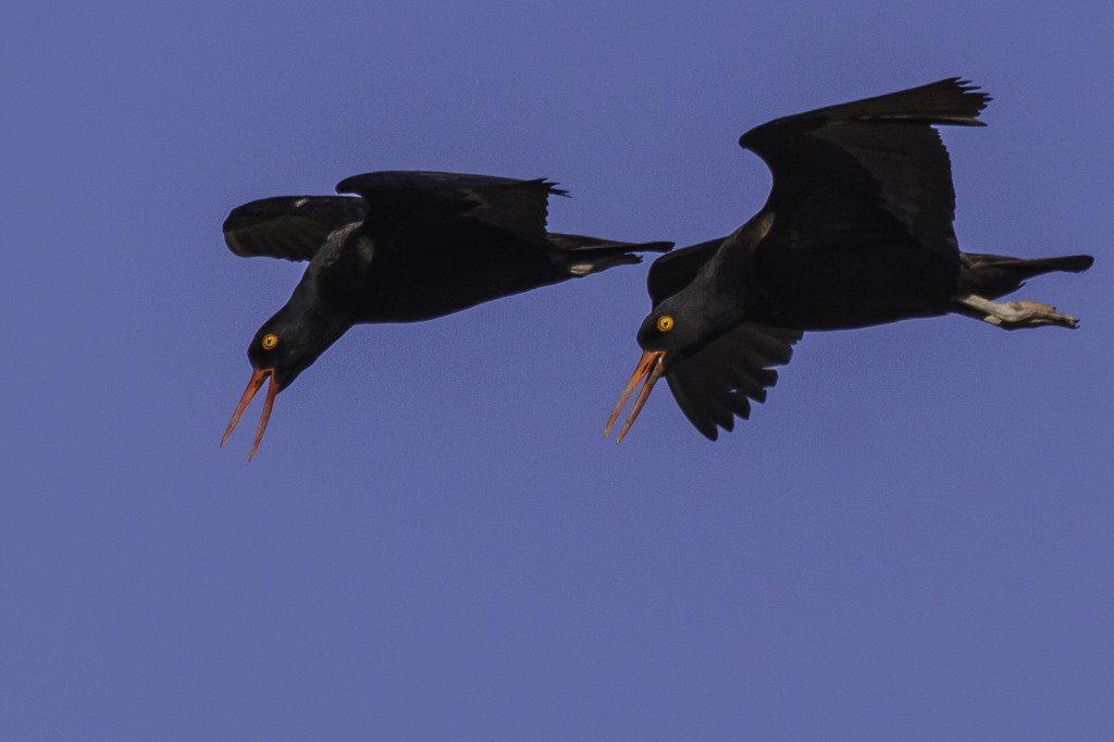 Black Oystercatchers / Photo by Bob Gunderson