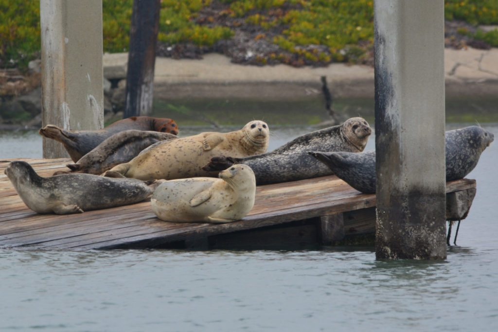 Harbor seals on old dilapidated dock / Photo by Richard Bangert