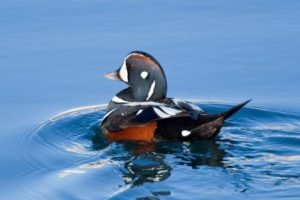 Harlequin Duck by Bob Lewis