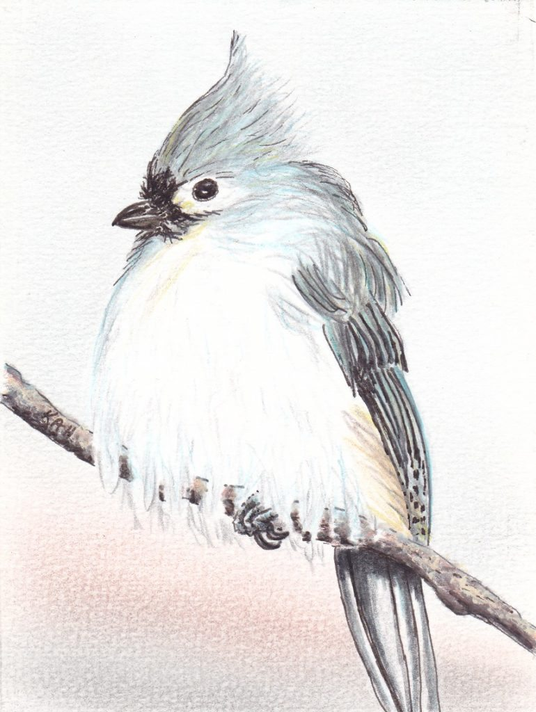 Tufted Titmouse by Keith Harward