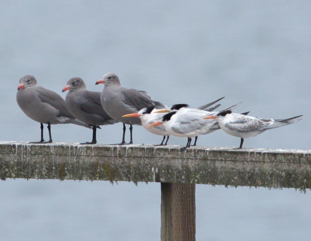 Heermann's Gulls and Royal Terns, by Dan Harris