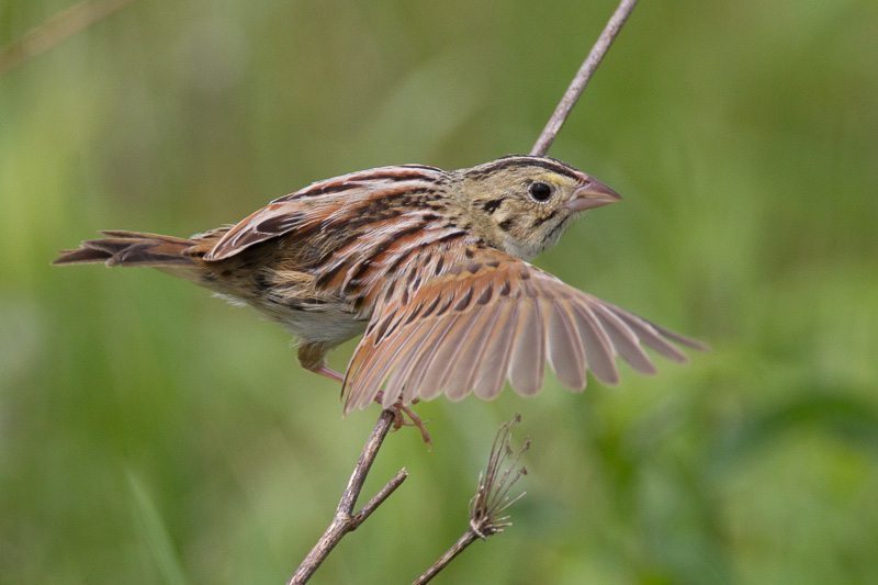 Henslow's Sparrow by Bob Lewis