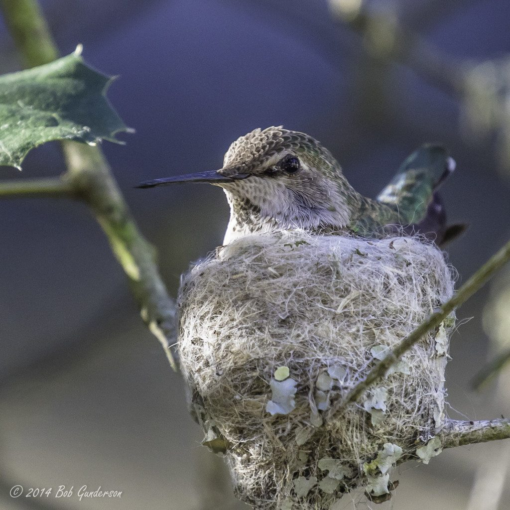 Anna's Hummingbird on nest at SF Zoo / Photo by Bob Gunderson