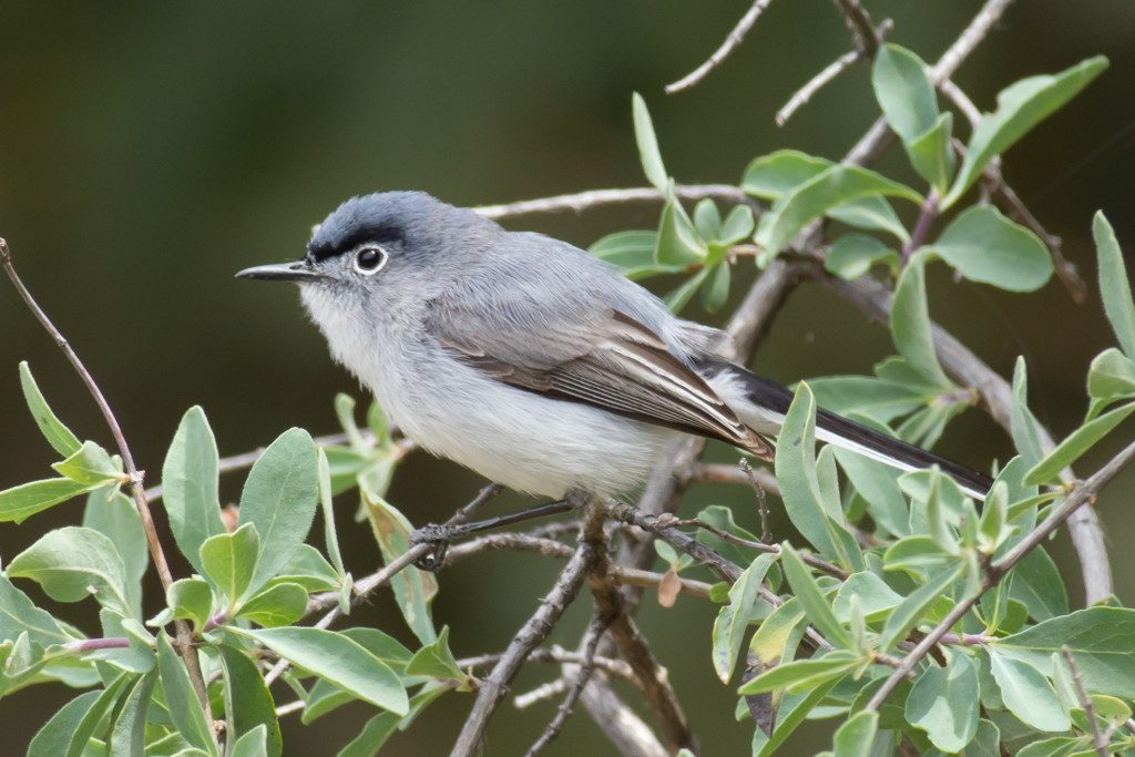 Blue-gray Gnatcatcher in Mitchell Canyon, by Joe Saba