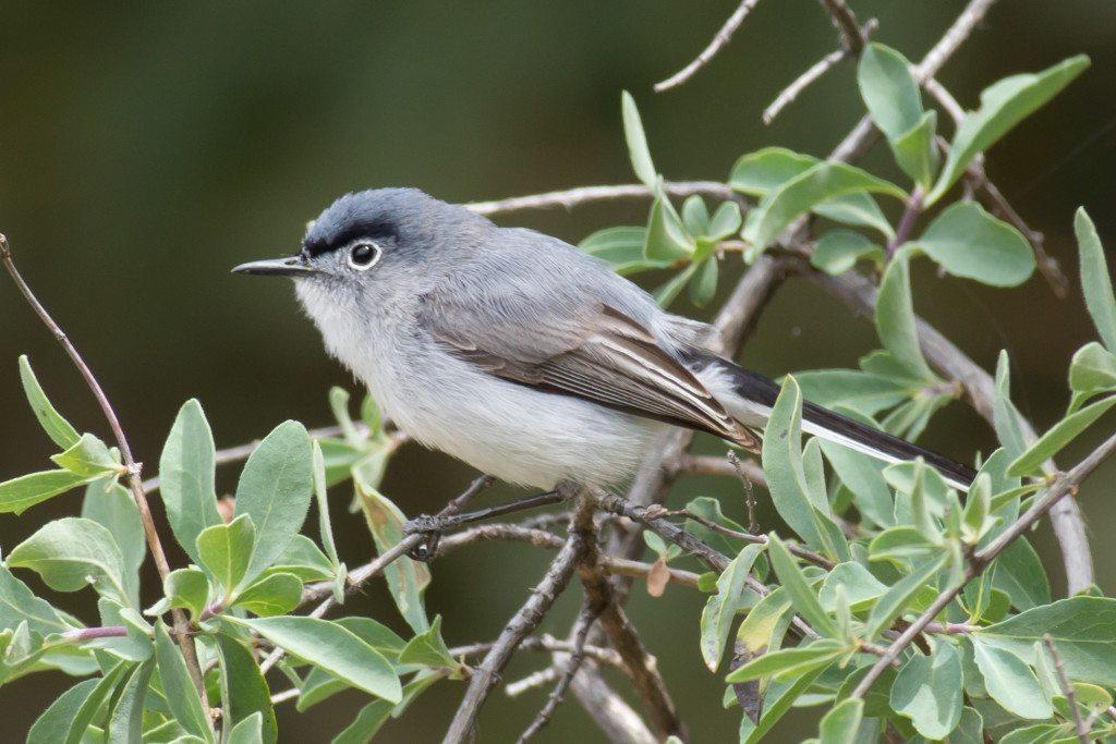 Blue-gray Gnatcatcher in Mitchell Canyon, by Joe Saba