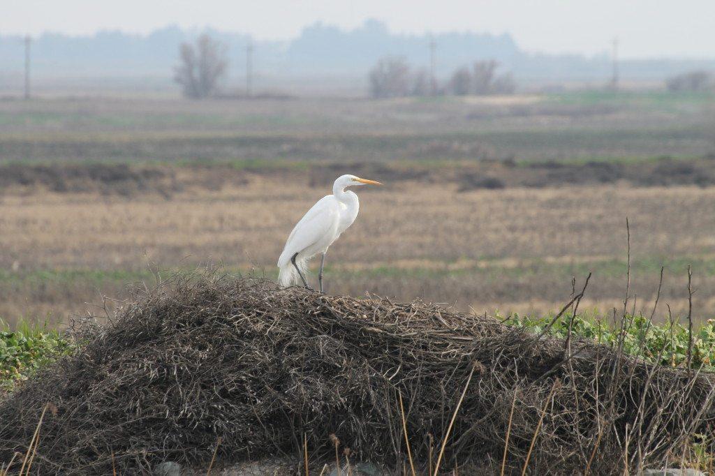 Great Egret on 2013 Delta boat trip / Photo by Ilana DeBare