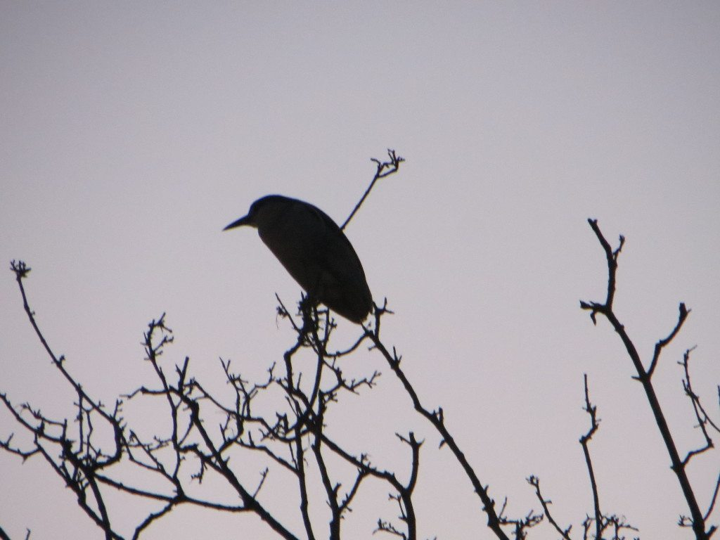 Black-crowned Night-Heron watches the Flash Mob from above / Photo by Ilana DeBare