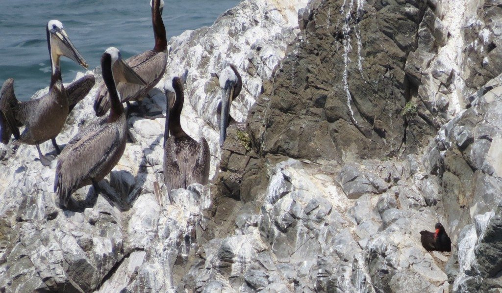 Pelicans move in close to the vicinity of the nest.