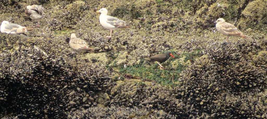 Black Oystercatcher foraging amidst gulls on bed of mussels.