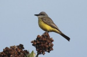 Tropical Kingbird sighted in South San Francisco. Photo by Ilana DeBare.