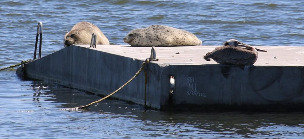 Two harbor seals with a roosting pelican on the new floating platform / Photo by Mark Klein