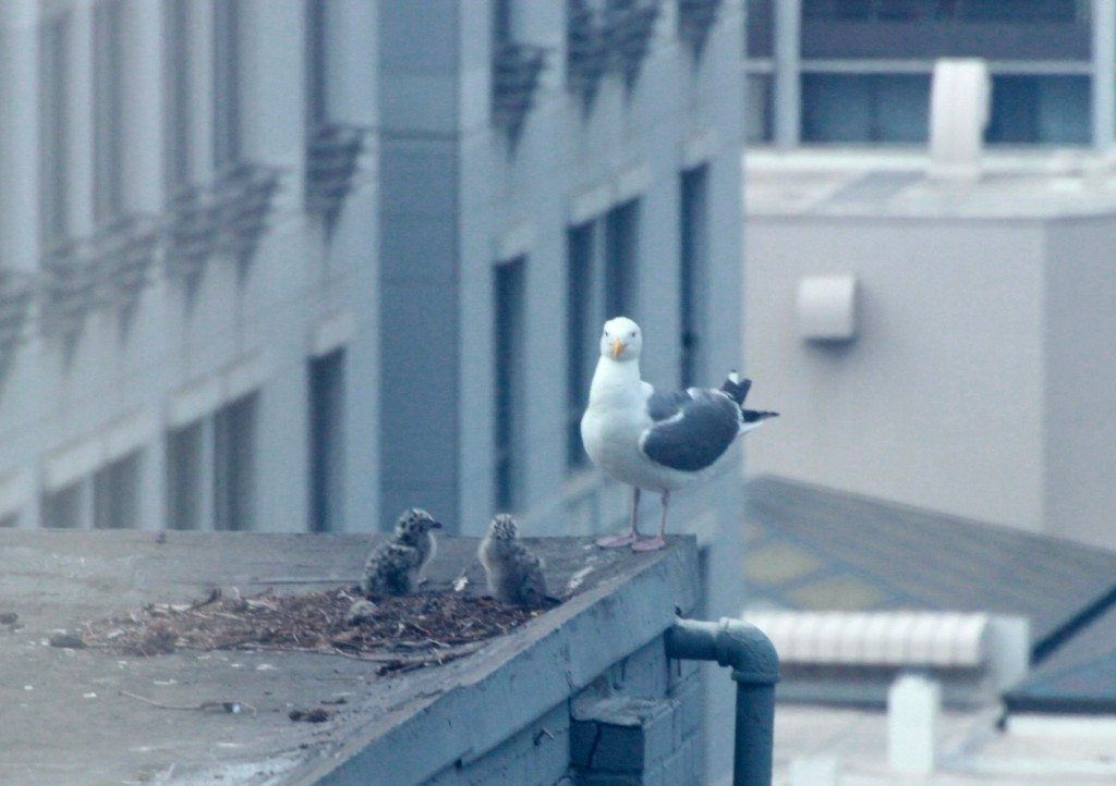 Western Gull and chicks at nest site that was disturbed by a drone / Photo by Sam Schuchat