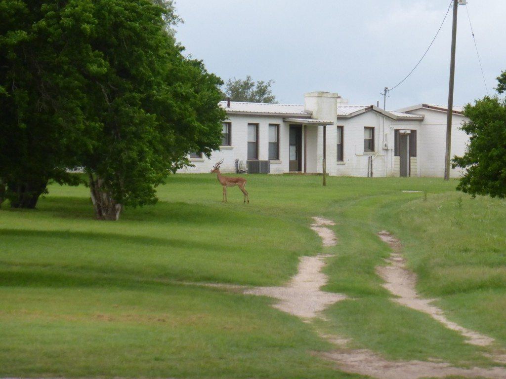 Impala at King Ranch