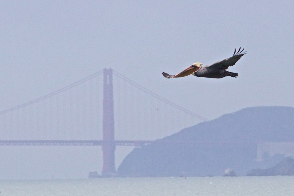 Brown Pelican viewed by the Point Isabel count team, by Alan Krakauer