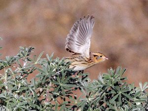 Le Conte's Sparrow at Pt. Reyes by Ron Storey, onstorey.com/LeConte'sSparrow/