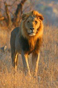 Lion by Leon Fouche