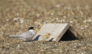 Least Tern and chick in Alameda / Photo by Eleanor Briccetti