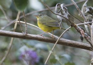 Mourning Warbler / Photo by Mark Rauzon