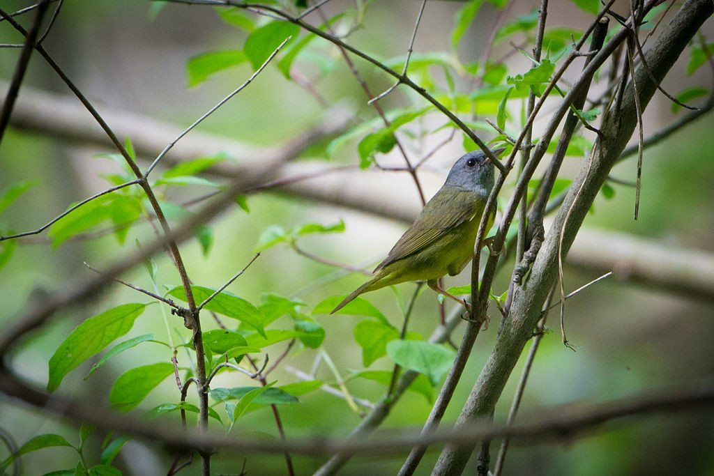 Mourning Warbler at Magee Marsh / Photo by Andrew C.