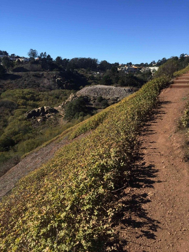 The east ridge trail, with the largest patch of native Oregon Grape in SF. Extracts of this plant were used by Native Americans to treat dyspepsia, eczema, and psoriasis. Photo by Dominik Mosur