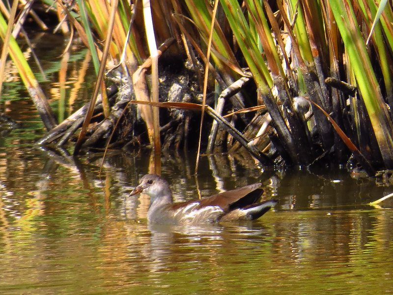 A young Common Gallinule / Photo by Pamela Llewellyn