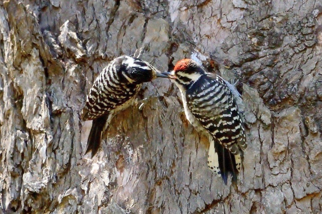 Nuttall's Woodpecker in Glen Canyon Park, by Lee Hong Chang
