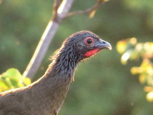Western Mexican Chachalaca by Liz & Larry Kuo