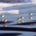 Snowy Plovers-L.Karney