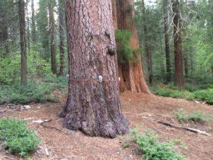 """Tree ears"" recording technique at Merced Grove in Yosemite"