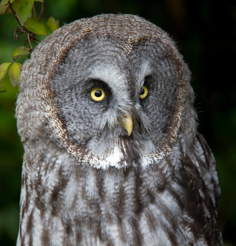 Great Grey Owl by Harry Fuller