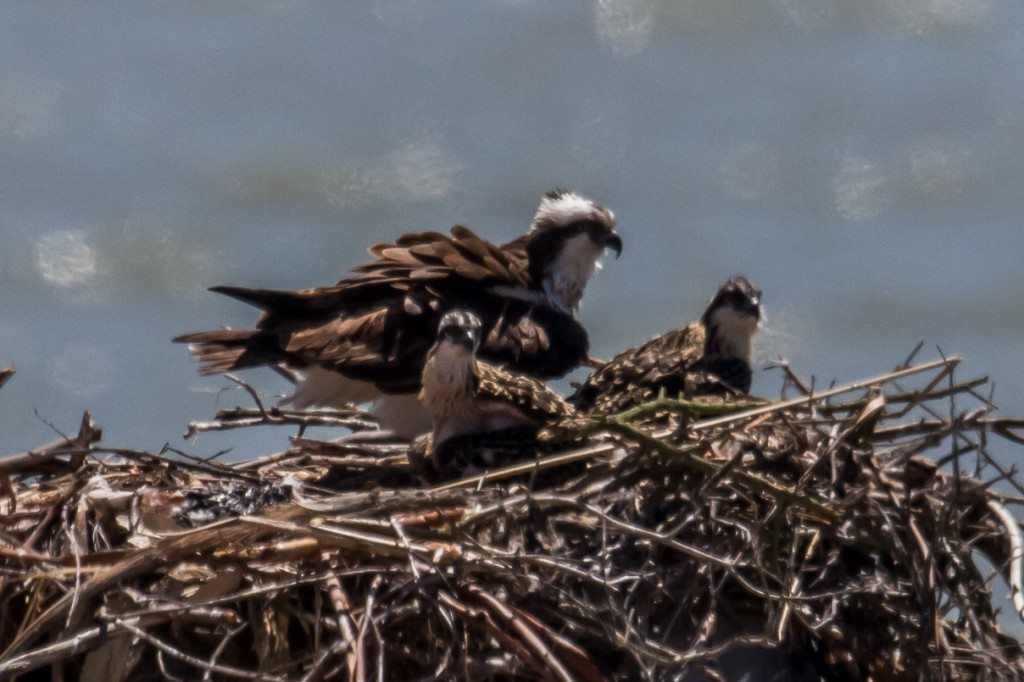 Osprey with chicks at Maritime Academy in Vallejo / Photo by Tony Brake