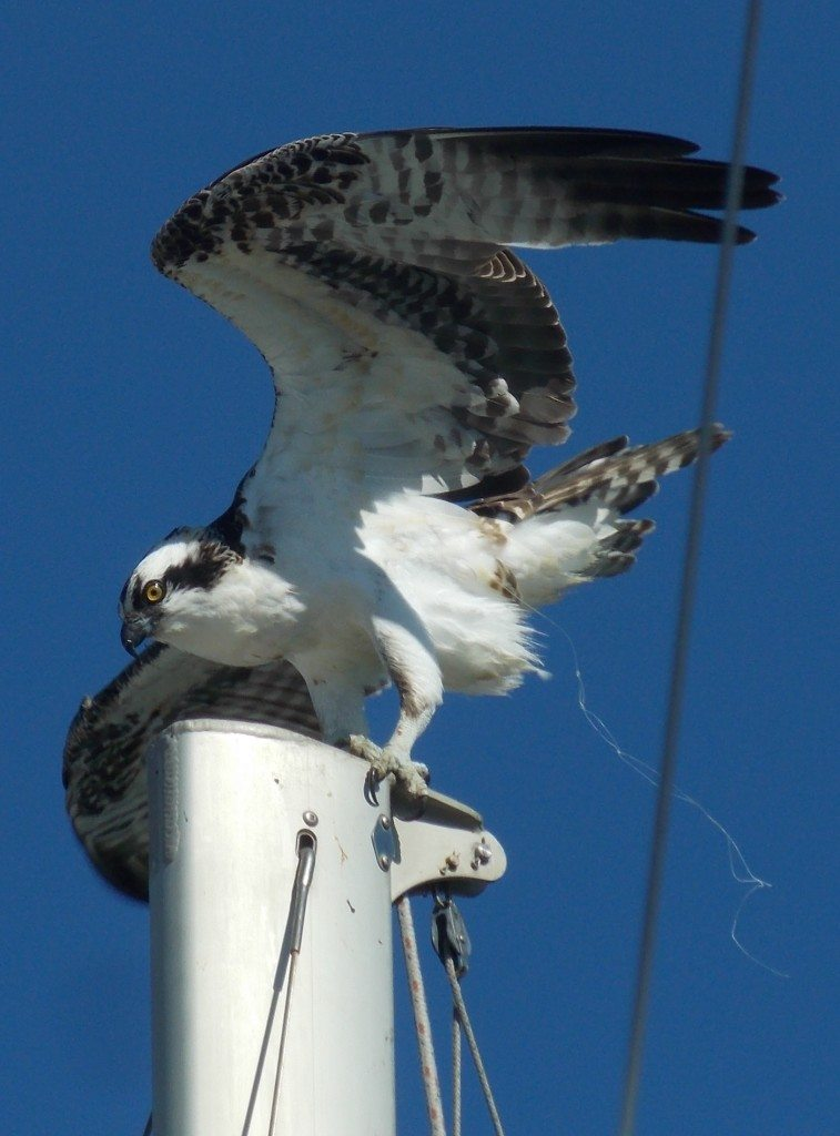 Female Osprey at Alameda Point in late 2014 with fishing line / Photo by Cindy Margulis