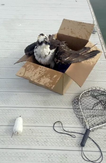 Osprey recovering after removal of fishing line. Photo by Nina Marie.