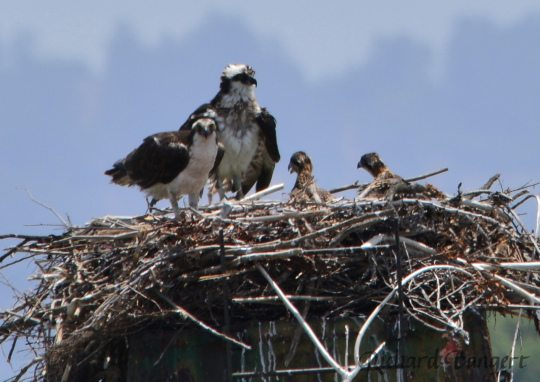 Osprey pair with two chicks on June 8, 2016 by Richard Bangert