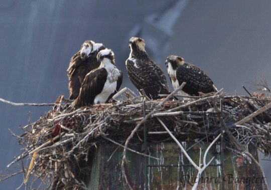 Osprey family at Alameda Point by Richard Bangert