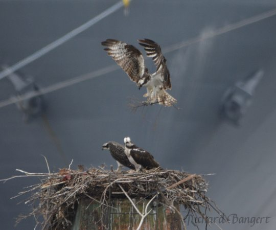 Adult Osprey brings in nesting material, perhaps for training purposes
