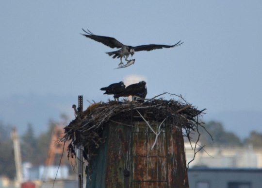 Adult Osprey brings a fish to the nest