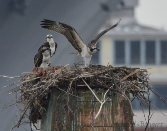 Young Osprey exercising its wings