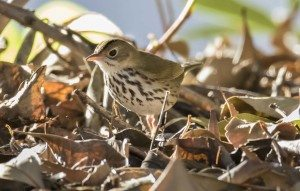 Ovenbird by Gail West, https://www.flickr.com/photos/hockeylover/