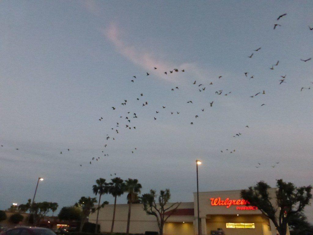 Parrot flock over Walgreen's
