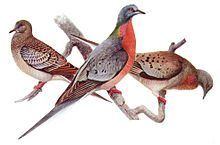 Juvenile Passenger Pigeon (left), male (center), female (right), by Louis Agassiz Fuertes