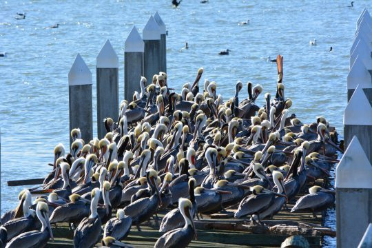 Brown Pelicans resting on old recreational boating dock on south side of Alameda Point in December. Photo by Richard Bangert