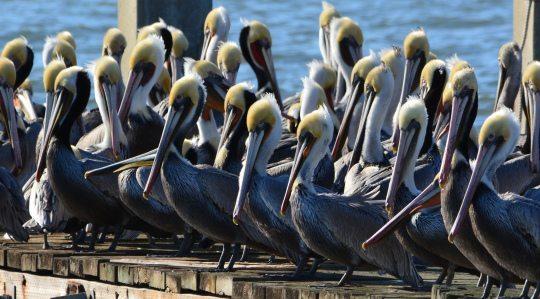 Brown Pelicans in Alameda by Richard Bangert
