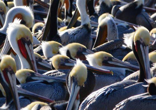 Brown Pelicans by Richard Bangert
