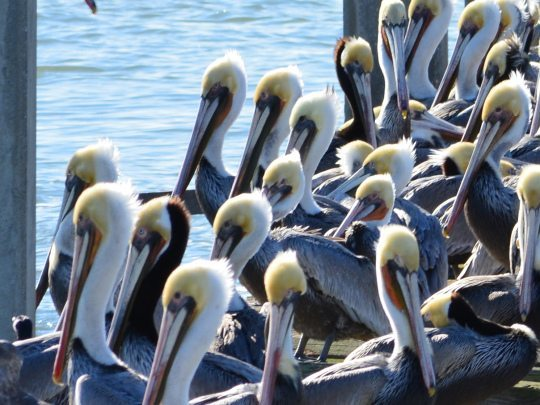 Brown Pelicans soaking up the sun on Alameda Point's south shore. Photo by Richard Bangert