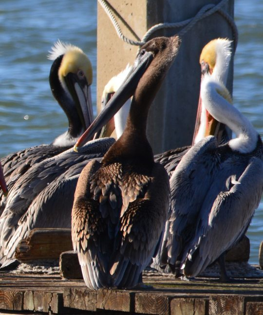 Immature (1 or 2 years old) Brown Pelican with all-brown head and neck, the only one spotted among about 100 pelicans on the dock on December 23, 2015. Photo by Richard Bangert