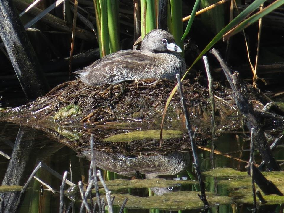 Pied-billed Grebe at Coyote Hills / Photo by Pamela Llewellyn
