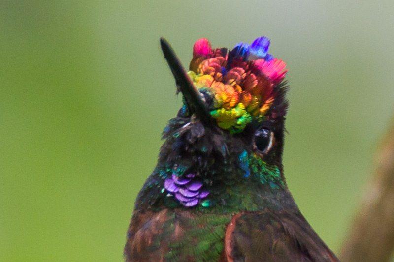 Rainbow Starfrontlet hummingbird in Peru, by Bob Lewis