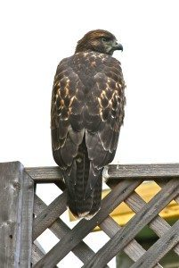 Juvenile Red-tailed Hawk on a neighbor's fence in 2012 / Photo by Mary Malec